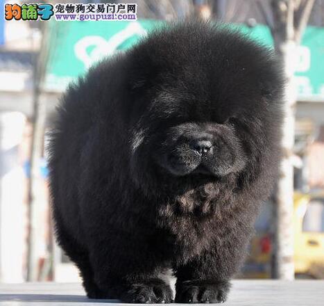 肉嘴紫舌头的台州松狮犬热卖中 三年联保 看狗父母