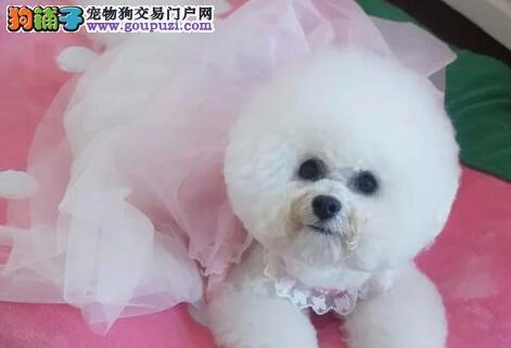 精品卷毛哈尔滨比熊犬特价直销 可来犬舍办理证书