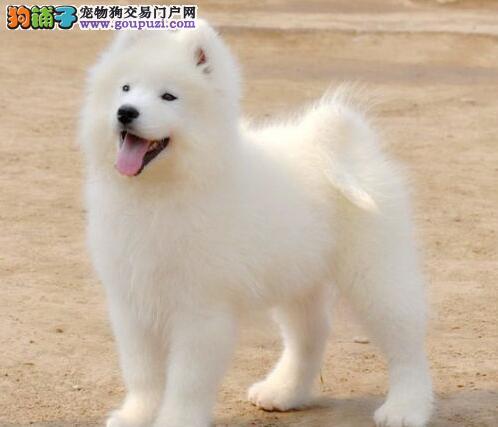 杭州正规犬舍繁殖基地出售萨摩耶幼犬 有血统证书