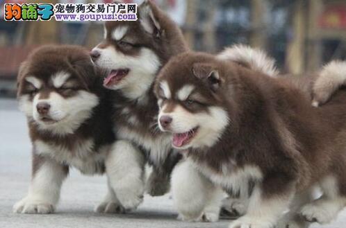 出售纯正巨型的成都阿拉斯加雪橇犬 欢迎光临选购
