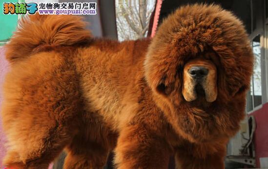优质品种纯正原生态的南昌藏獒幼崽找新家 可上门挑选