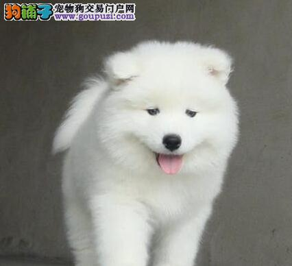 出售萨摩耶幼犬品质好有保障期待您的来电咨询