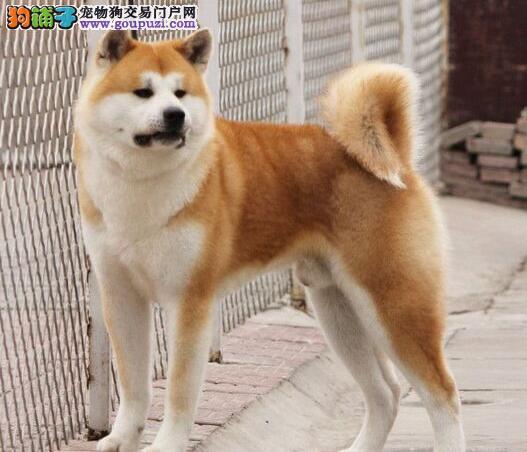 天津CKU认证犬舍出售高品质秋田犬终身质保终身护养指导