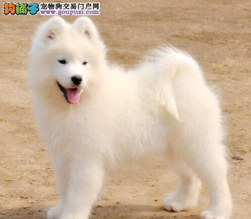 纯种微笑天使萨摩耶低价转让中 贵阳专业犬舍繁殖出售