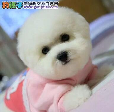棉花糖比熊宝宝特价榆林出售啦 超可爱的宝宝 疫苗已做