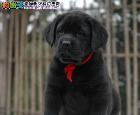 南昌正规犬舍出售大气上档次拉布拉多幼犬 非诚勿扰