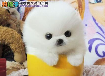 低价出售血统纯正的南昌博美犬 我们承诺售后三包
