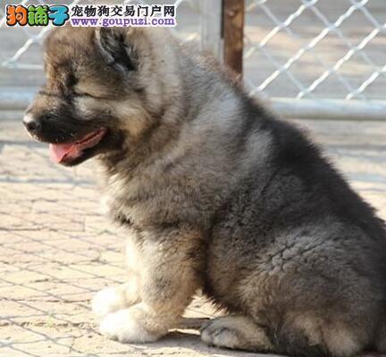 吐鲁番繁殖基地出售纯种高加索幼犬 骨量大毛量足品相好
