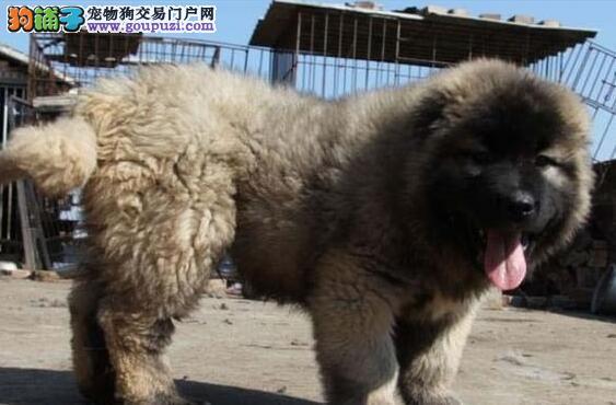 最好的优质猛犬高加索出售俄罗斯引进,健康纯种保证