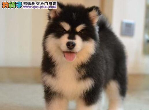 出售纯种双十字阿拉斯加雪橇犬 已做好疫苗武汉最低价