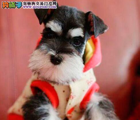 雪纳瑞幼犬出售中、打完疫苗证书齐全、提供养狗指导