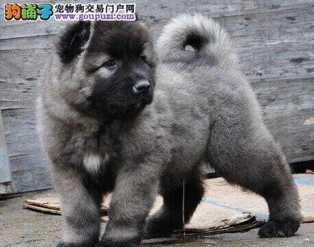 直销高品质高加索犬 欢迎来厦门犬舍实地挑选购买