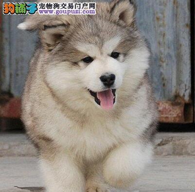 出售大骨量巨型品质的西安阿拉斯加犬 签终身合同