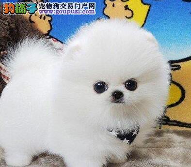 晋城宠物犬繁殖基地出售纯种博美幼犬