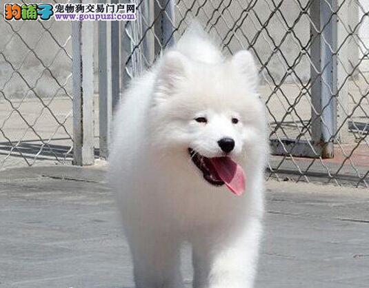 狗场直销 优秀健康萨摩耶特价转让北京地区有实体店