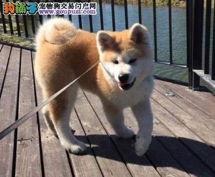 太原养殖基地售双血统的日系秋田犬 请大家放心选购