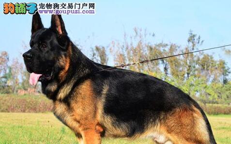 高品质大头弓形德国牧羊犬深圳犬舍直销 售后服务好