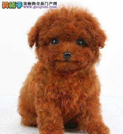 100%纯种健康的陇南泰迪犬出售包售后包退换