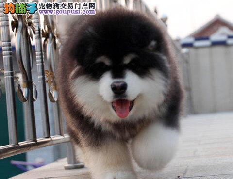 桃脸帅气英俊阿拉斯加犬特价出售中 南宁市内可送货