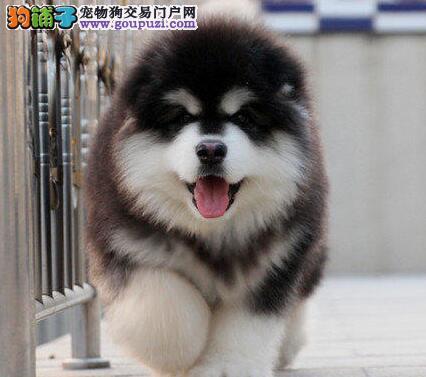 十字脸完美品相的阿拉斯加犬热销中 仅限武汉朋友选购