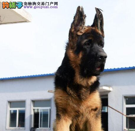 极品大头锤系福州德国牧羊犬特价出售 外地可代办空运