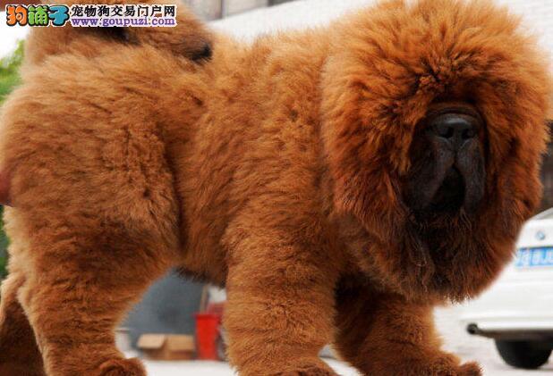 大毛量异常凶猛的武汉藏獒幼崽出售中 请您放心选购
