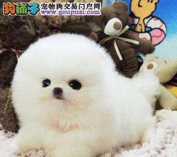 贵阳出售博美犬公母都有品质一流签订合法售后协议