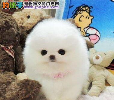 特惠出售纯种哈多利球型博美犬,可爱至极纯正血统