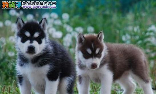 汕头大型养殖基地出售多只三个月的哈士奇幼犬 签协议