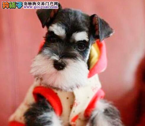 南京养殖基地出售深灰色大胡子的雪纳瑞幼犬 非诚勿扰