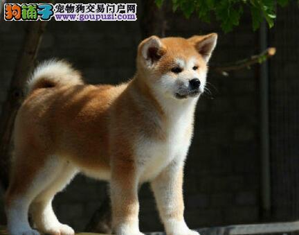 精品秋田犬热销中、假一赔十价位最低、专业信誉服务