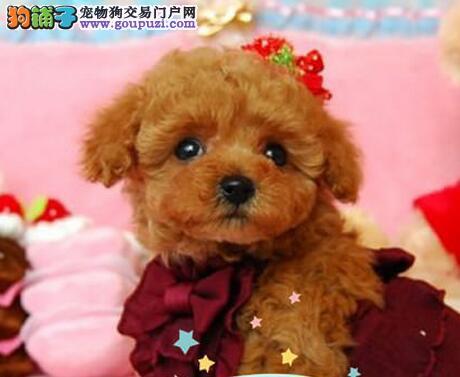 合肥狗场直销多种血系的泰迪犬 请大家放心选购爱犬