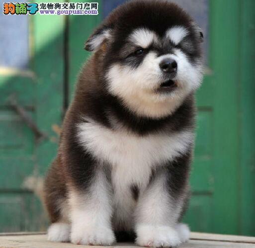 高品质阿拉斯加犬幼犬 注射芯片颁发证书 签协议可送货