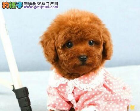 热销泰迪犬颜色齐全可见父母请您放心选购