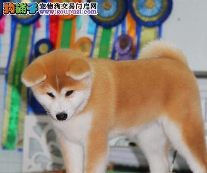 济南AKC双冠赛级冠军纯种秋田幼犬低价出售 请放心选购