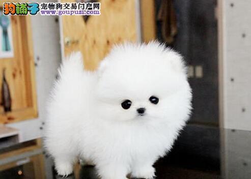 养殖基地优惠特卖好品质博美犬贵阳地区购犬有礼品