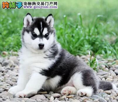 合肥大型狗场直销赛级双血统的哈士奇幼犬 放心选购