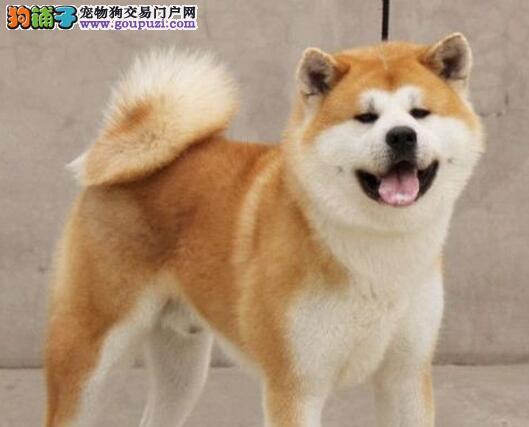 纯种秋田犬包纯种健康鼓励上门看狗