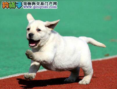 养殖基地直销世界名犬萨摩.阿拉.古代,金毛,拉拉等