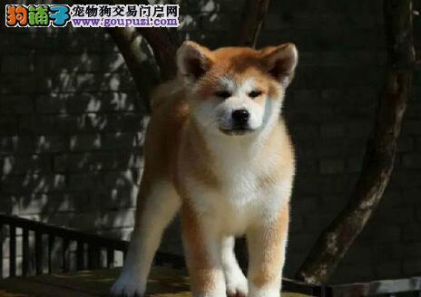 犬舍直销顶级福州秋田犬 公母都有有售后保证可空运