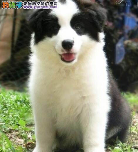 高智商高品质的武汉边境牧羊犬找新家 签订售后协议