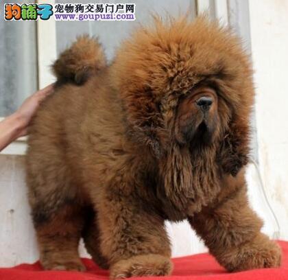 獒园特价出售藏獒幼犬,另有种公对外配种