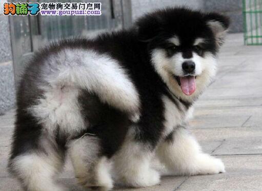 西安大型犬舍直销价格热销双十字阿拉斯加雪橇犬