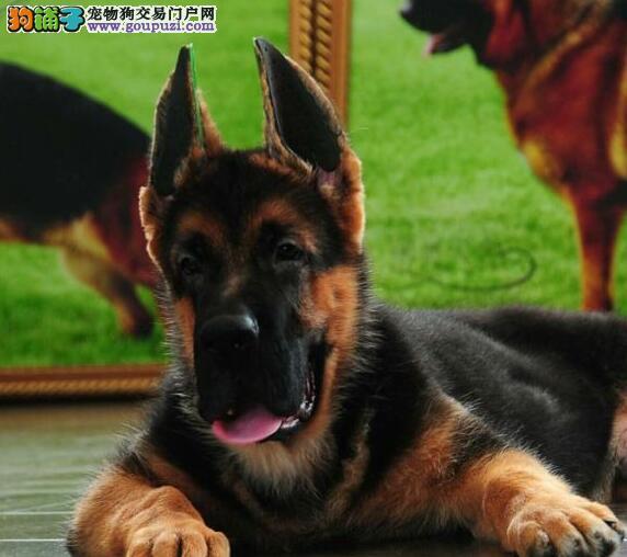 广东出售颜色齐全身体健康德国牧羊犬专业繁殖中心值得信赖