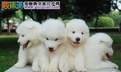 雪白色没有任何杂毛的合肥萨摩耶幼犬找爸爸妈妈