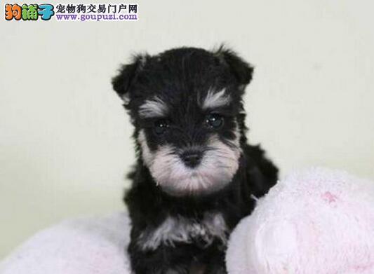 超小体小老头品相的合肥雪纳瑞幼犬找新家 签协议