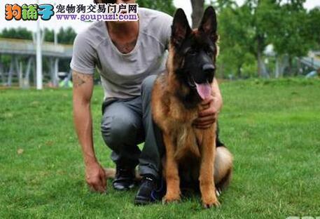 淄博知名犬舍直销锤系黑背的德国牧羊犬 欲购从速