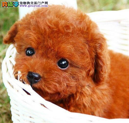 实体店热卖泰迪犬颜色齐全送用品送狗粮