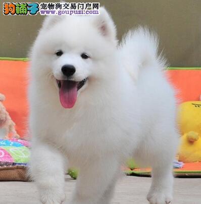 纯种微笑天使品相的三亚萨摩耶幼犬 骨骼粗毛量品相佳