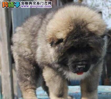 烟台犬舍直销高大威猛的高加索犬 熊版巨型的完美品相